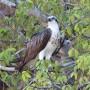 Yardie Creek Osprey ©Hans & Andri Grobbelaar