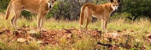 Two dingo's at Yardie Creek